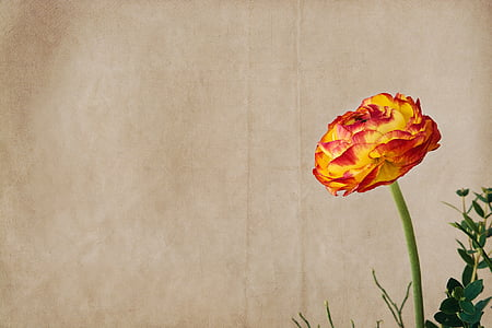 yellow and orange ranunculus flower