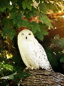 female white and black snowy owl