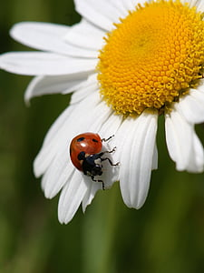 closeup photo of red and ladybug on daisy flower