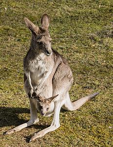brown kangaroo on green grass