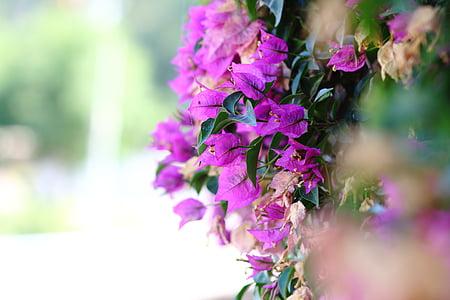 close-up photo of purple bougainvillea flower