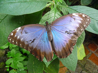 morpho butterfly perching on green ovate leaf during daytime