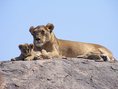 two lions on gray stone under blue sky