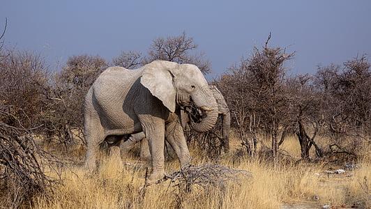 wildlife photo of two gray elephants