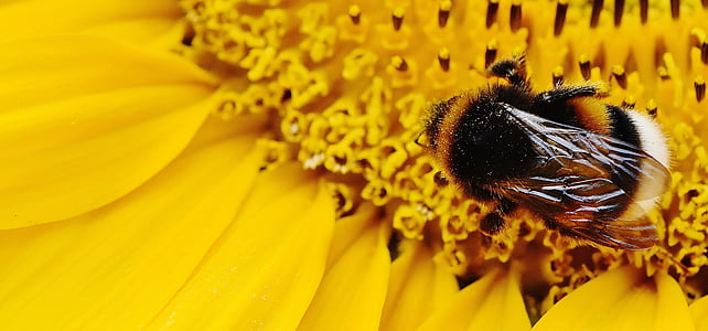 bumble bee perching on yellow flower macro shot photography