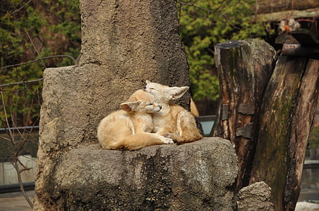 two beige animals laying on rock