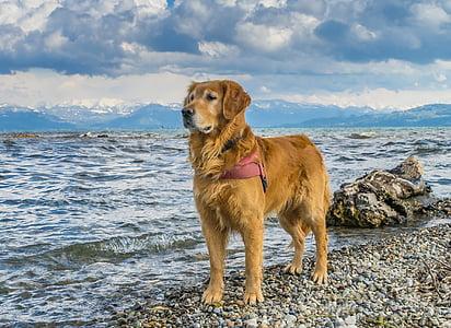 adult Golden retriever on the seashore photography