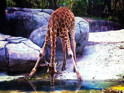 brown giraffe drinking water