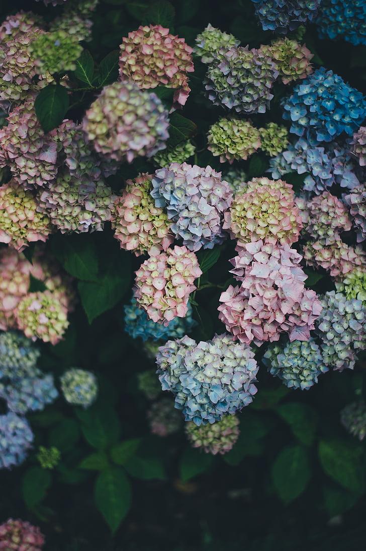 assorted-color hydrangeas closeup photography