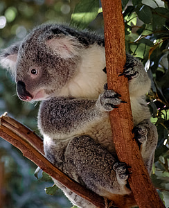 gray koala on tree branch