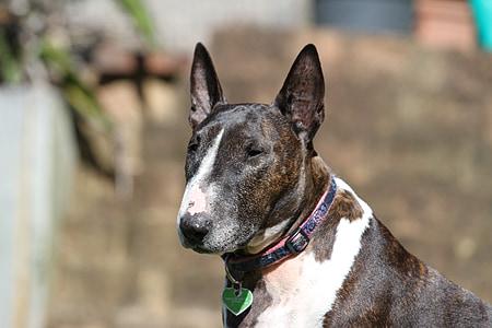 adult white and black bull terrier