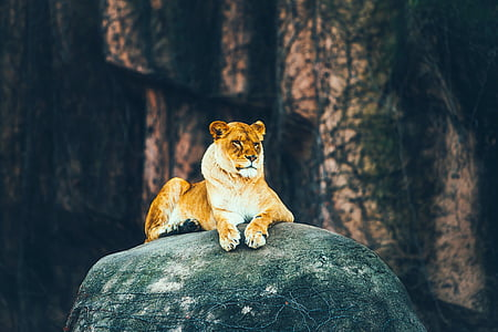 lioness reclining on black stone