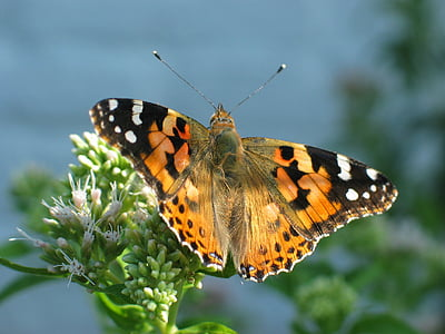 painted lady butterfly perched on green leaf