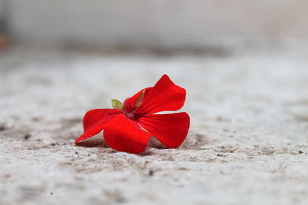 red geranium flower on brown surface