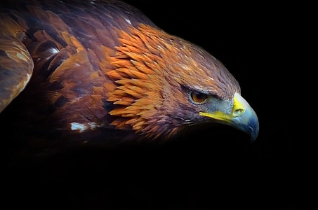 photography of golden eagle