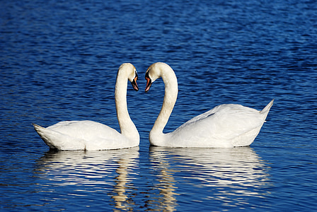 mute swan couple facing each other while floating in the middle of body of water