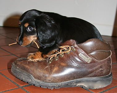 black and brown puppy biting shoe lace