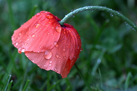 red poppy flower with water droplets