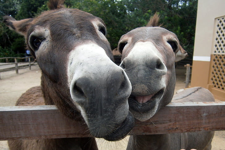 two gray donkeys