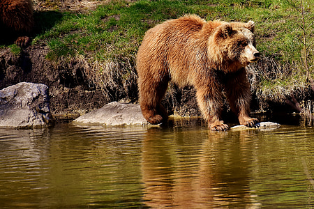 brown bear standing on stones on top of body of water during daytime