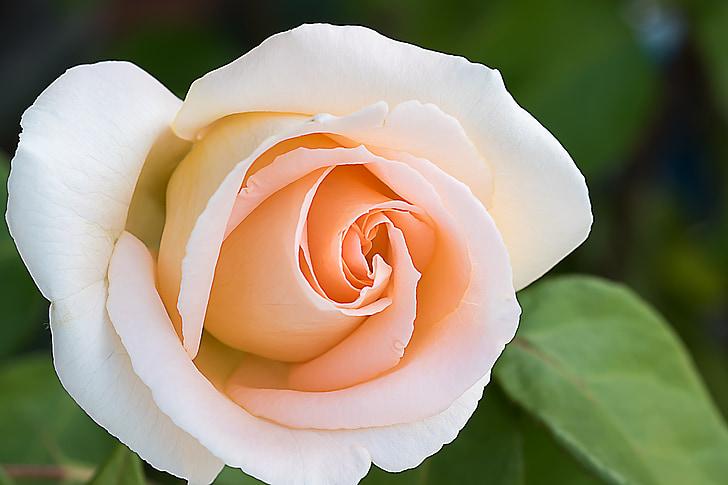 closeup photograph of rose