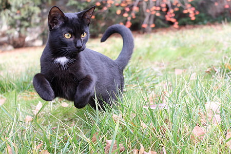 black cat walks on green grass at daytime