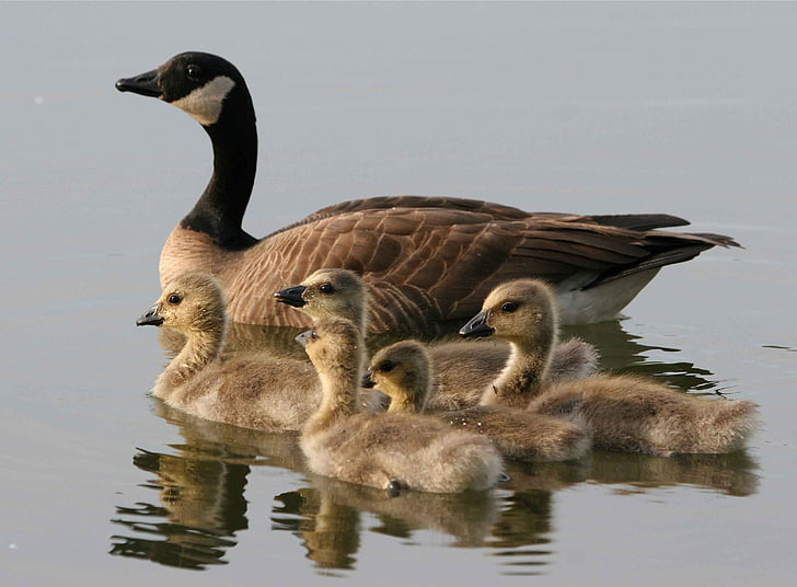 flock of brown duck on body of water