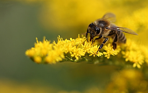 macro photo of honey bee on yellow flower
