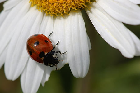 closeup photography of red ladybug perched on white flower