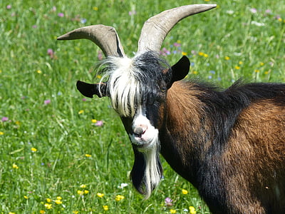 black and brown goat at daytime