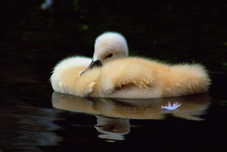 yellow duckling on calm water