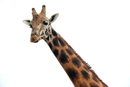 closeup photo of giraffe