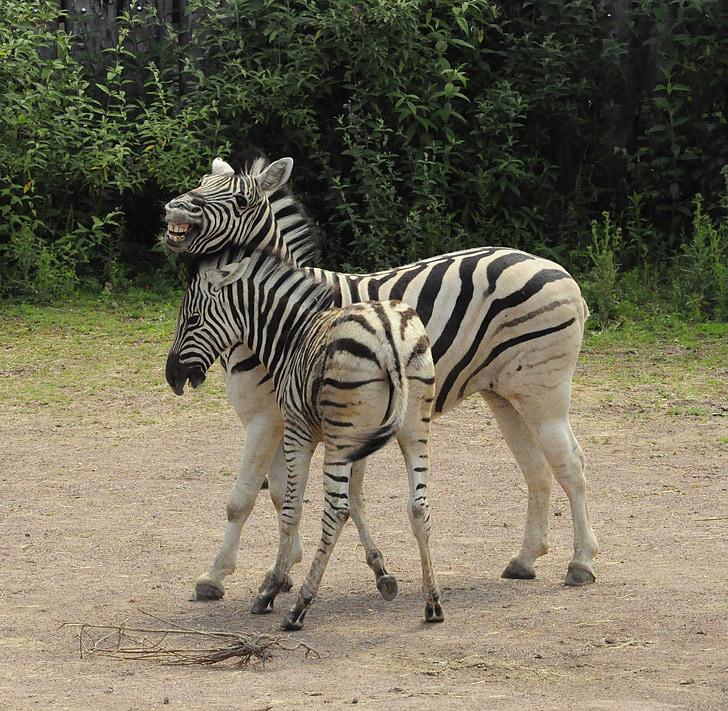 two zebras in field