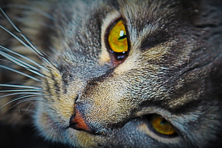 brown tabby cat photography