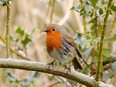 selective focus photography of Eurasian robin