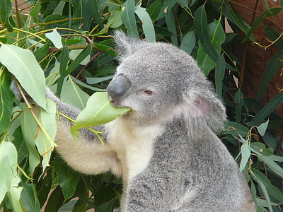 koala eating leaf