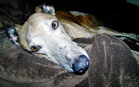 adult brindle greyhound lying on black textile