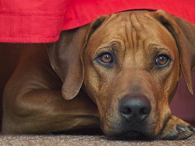 short-coated brown dog under red table cloth