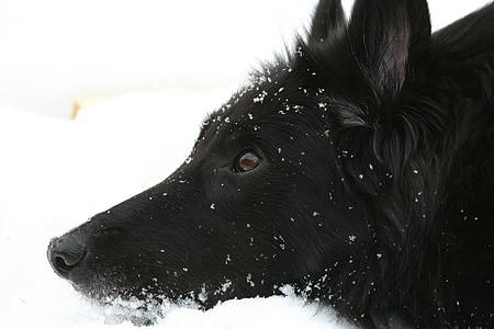 long-coated black dog