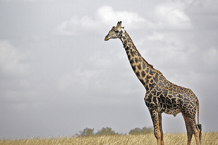 brown and black giraffe on grain field under cloudy sky