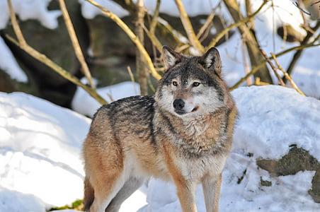 wildlife photography of gray worlf