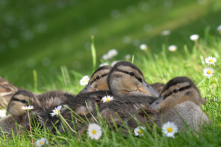 flocks of brown ducks
