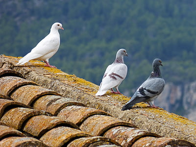 three pigeons perched on roof