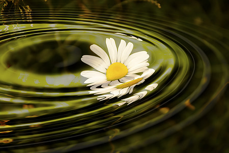 white daisy flower dropped on calm body of water