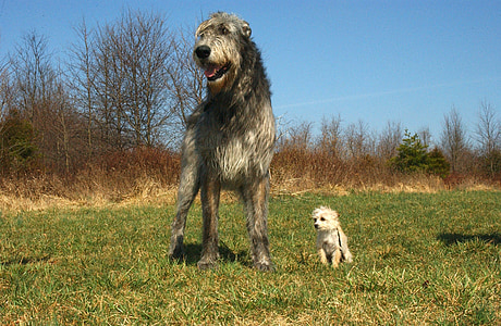 adult Scottish deerhound with Maltese on grass field