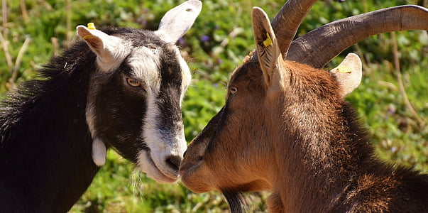 two black and brown goats
