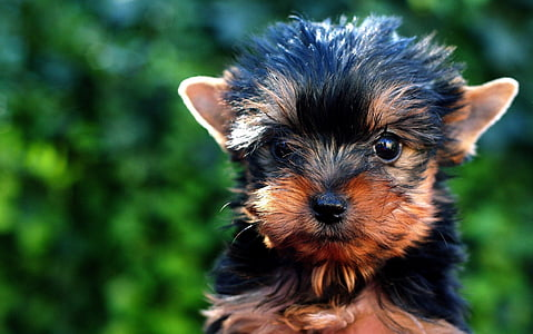 black and tan Yorkshire terrier puppy in close up photography