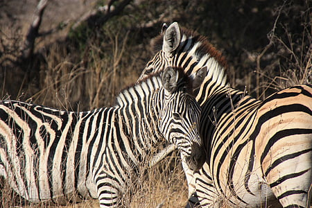 two zebra surrounded by brown grass