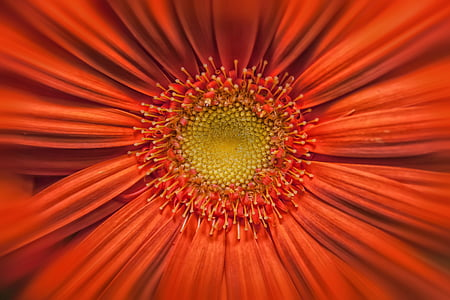 macro photography of red daisy flower