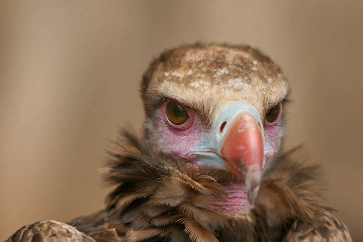 close up photo of brown vulture